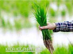 7.000 mẫu giống lúa Việt Nam đang được lưu trữ tại Ngân hàng Gene