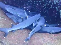 Bầy cá mập chen chúc nhau ngủ dưới đáy đại dương