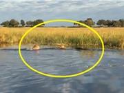Clip: Màn thuỷ chiến ác liệt giữa cá sấu với 2 con sư tử