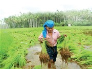 Chuyện bảo tồn các giống lúa bản địa ở Ấn Độ