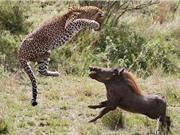 Cận cảnh cuộc ác chiến kinh hoàng giữa lợn bướu và báo