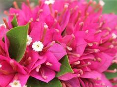 Vẻ đẹp của loài hoa mang ý nghĩa gắn kết trong gia đình