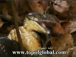 """Clip: Hổ mang chúa hạ sát rắn mamba đen trong """"một nốt nhạc"""""""