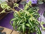Hướng dẫn trồng cây dây nhện giúp thanh lọc không khí, tốt cho phong thủy