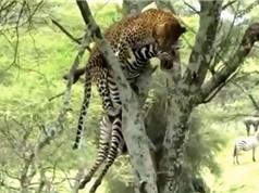 Clip: Báo hoa mai giết ngựa vằn, đưa xác lên cây để ăn thịt