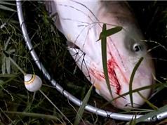 """Clip: Câu được cá mè """"khủng"""" ở Yên Bái"""