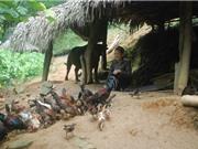 Nhân rộng mô hình nuôi gà nhiều cựa