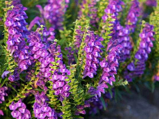 Vẻ đẹp của loài hoa được sử dụng làm thuốc quý