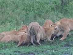 """Clip: Bầy sư tử """"ăn tươi nuốt sống"""" lợn rừng"""