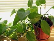 8 loại cây cảnh hút khí độc siêu tốt nên trồng trong nhà