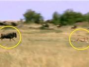 Clip: Linh dương đầu bò tấn công báo săn, cứu con thoát chết ngoạn mục
