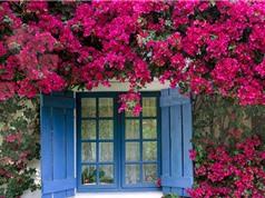 Kỹ thuật trồng hoa giấy nở quanh năm