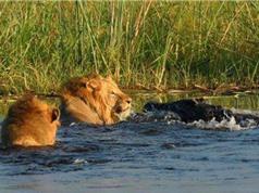 CLIP ĐỘNG VẬT ĐẠI CHIẾN ẤN TƯỢNG NHẤT TUẦN: Sư tử thủy chiến với cá sấu, trăn hạ sát linh dương