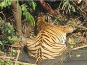 Rắn độc cắn chết hổ mẹ sắp tới ngày sinh nở