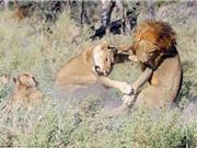 Cận cảnh màn nội chiến kịch liệt của bầy sư tử