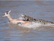 Clip: Cận cảnh cá sấu truy sát linh dương Impala