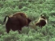Clip: Bò rừng bison bất lực nhìn gấu ăn thịt con