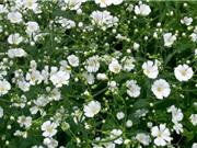 Vẻ mong manh của loài hoa mang ý nghĩa của hơi thở trẻ thơ