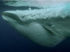 """Clip: Cá voi khổng lồ nuốt gọn """"đại tiệc"""" của 5 loài động vật"""