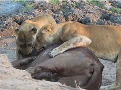 Clip: Trâu rừng chết thảm trước hai con sư tử