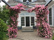 Kỹ thuật trồng và chăm bón cho hoa hồng leo nở quanh năm