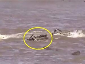 Clip: Vượt sông, ngựa vằn chết thảm trước hàm cá sấu