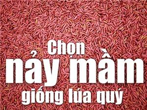 Chọn nảy mầm giống lúa quý từ 7.000 giống ở Việt Nam