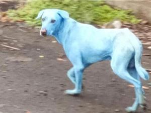 Sự thật kinh hoàng đằng sau những chú chó có lông màu xanh