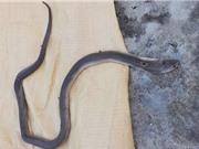 Bắt rắn hổ mang làm thịt, 1 người ở Quảng Nam bị cắn tử vong