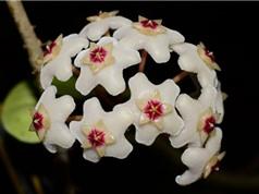 """Vẻ đẹp của loài lan """"độc nhất vô nhị"""" trên thế giới"""