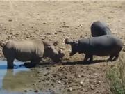 Clip: Màn ác chiến kinh hoàng giữa hà mã và tê giác