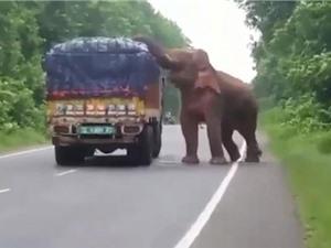 Clip: Voi chặn đường xe tải để cướp hoa quả