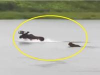 Clip: Gấu xám Bắc Mỹ truy sát nai sừng tấm dưới nước