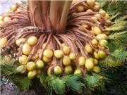"""Tận mắt thấy cây vạn tuế hiếm có khó tìm """"đẻ"""" 400 """"trứng vàng"""""""