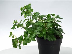 Trồng cây thường xuân giúp thanh lọc không khí, tốt cho phong thủy