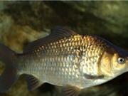 Bí quyết giúp một số loài cá nước ngọt sống sót khi thiếu oxy