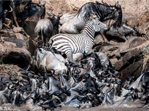 Cận cảnh ngựa vằn nỗ lực giành sự sống giữa bầy linh dương đầu bò