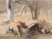 """Clip: Sư tử bị bầy linh cẩu """"tẩn nhừ xương"""""""