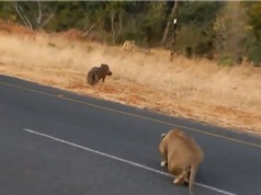Clip: Lợn rừng chết thảm trước sư tử vì không tin bạn
