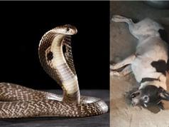 Clip: Chó chết thảm vì bảo vệ chủ nhân trước rắn hổ mang
