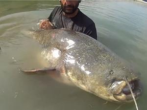 Clip: Tóm gọn cá trê dài 2,5m, nặng hơn 120kg