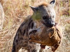 Linh cẩu cắn đứt đầu sư tử cực kỳ dã man