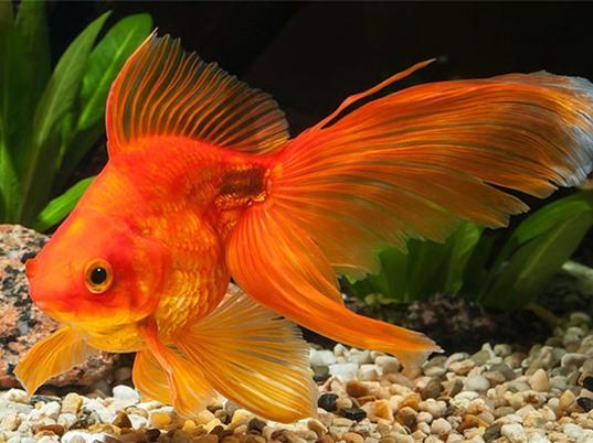 Cá vàng tự chuốc say cơ thể để sống sót qua mùa đông