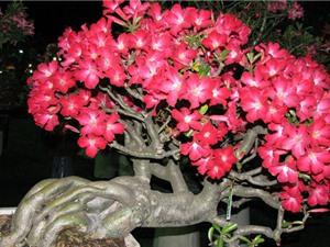Kỹ thuật trồng và chăm bón cây sứ Thái cho hoa nở quanh năm