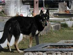 Chú chó trung thành suốt 10 năm chờ đợi bên mộ chủ