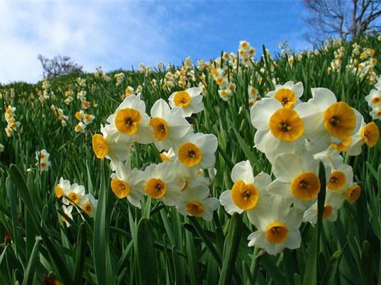 Vẻ đẹp của loài hoa gắn liền với truyền thuyết nam thần kiêu ngạo