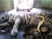 CLIP ĐỘNG VẬT ĐẠI CHIẾN ẤN TƯỢNG NHẤT TUẦN: Hổ mang chúa cắn chết hổ, hà mã ác chiến tê giác