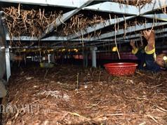 Đi mượn 260m2 trồng nấm rơm kiểu mới, mỗi tháng lãi 15 triệu đồng