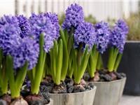 Tự trồng hoa dạ lan hương mang lại may mắn và thịnh vượng