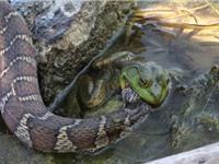 """Clip: Ếch quyết tâm """"ngọc đá cùng tan"""" với rắn độc"""